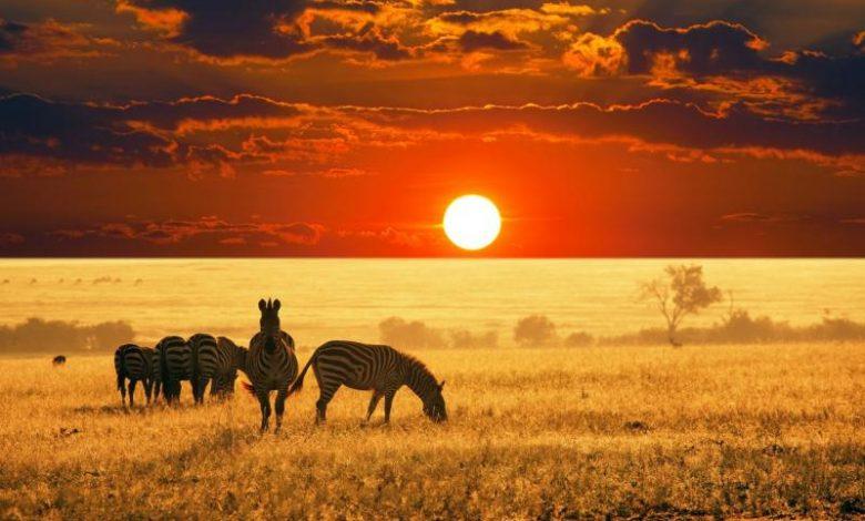 Çölde Duran 6 Adet Zebra