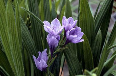 Babun Çiçeği