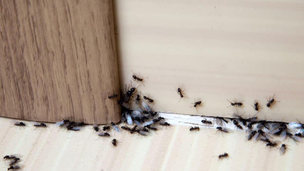 Karıncalar Nasıl Uzaklaştırılır ? Karınların Sevmediği Kokular Nelerdir ? 2