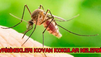 Sivrisinekler Neden Kaçar ? Sivrilerin Sevmediği Kokular Nelerdir ? 1
